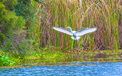 Environmental Awareness Great Egret
